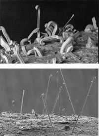 SEM pictures of tin and zinc whiskers.